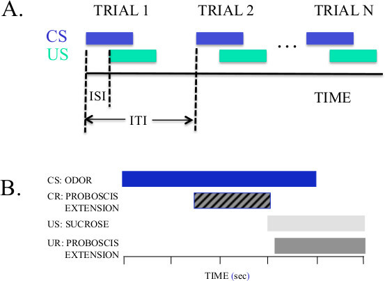 A proboscis extension response protocol for investigating behavioral plasticity in insects: application to basic, biomedical, and agricultural research.